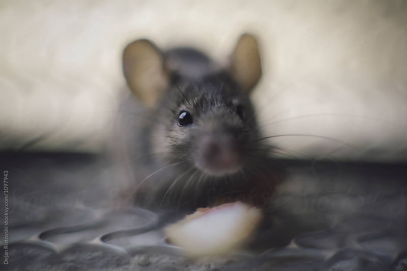 Close up of a mice holding food. by Dejan Ristovski for Stocksy United