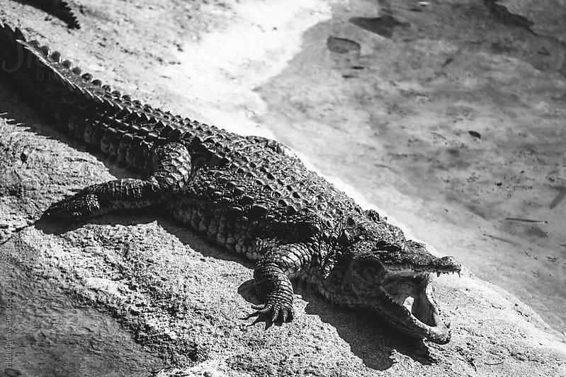 Alligator by michela ravasio for Stocksy United