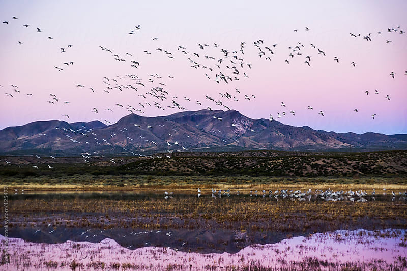 Birds in flight (Snow Geese over Sandhil Cranes) at dawn by yuko hirao for Stocksy United