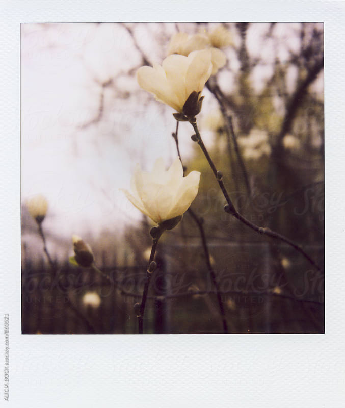 Polaroid Of New Magnolia Blossoms On A Gray Spring Day by ALICIA BOCK for Stocksy United