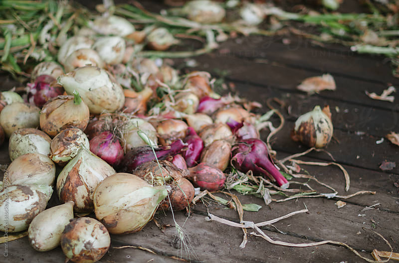 Pile of Raw Onions by Camrin Dengel for Stocksy United