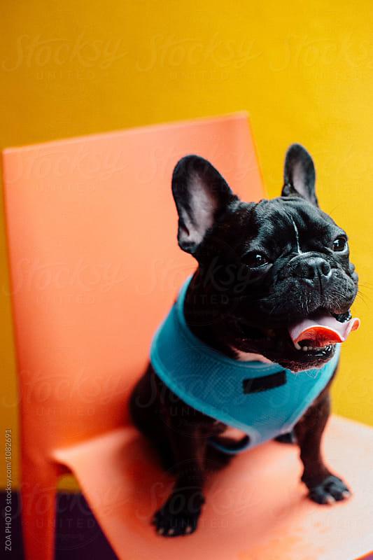 French Bulldog Potraits by ZOA PHOTO for Stocksy United