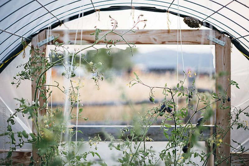 Greenhouse Tomatoes by Camrin Dengel for Stocksy United