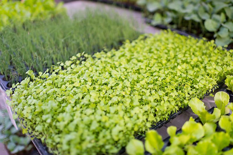 Fresh celery and green onion vegetable seedling growing in pot by Lawren Lu for Stocksy United