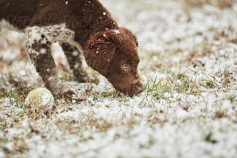 Brittany Spaniel puppy playing in freshly fallen snow by Alicja Colon for Stocksy United