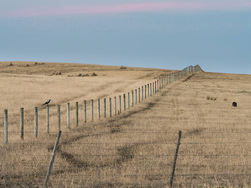 Magpie on a Farm Fence by Gary Radler Photography for Stocksy United