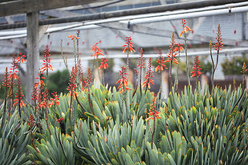 Blooming Aloe Vera plants by Amy Covington for Stocksy United