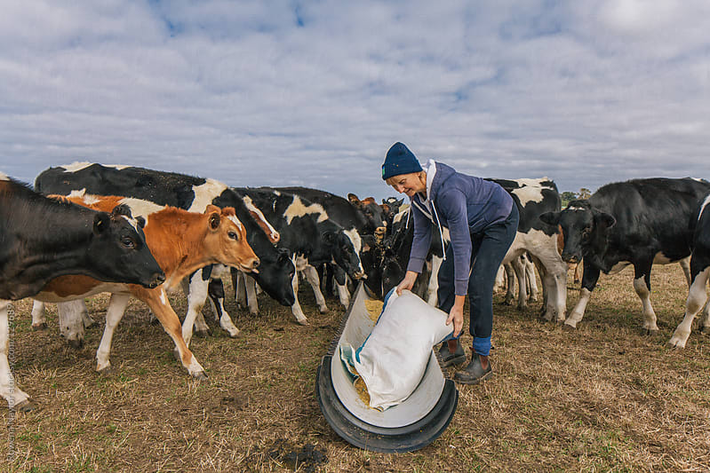 Female farmer feeding dairy cows by Rowena Naylor for Stocksy United