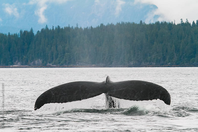 humpback whale fluke by Cameron Zegers for Stocksy United