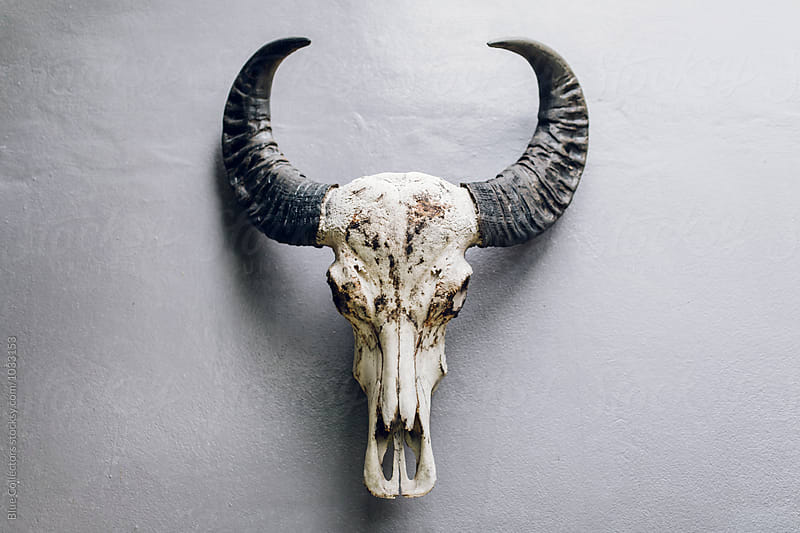 skull cow on the wall by Jordi Rulló for Stocksy United