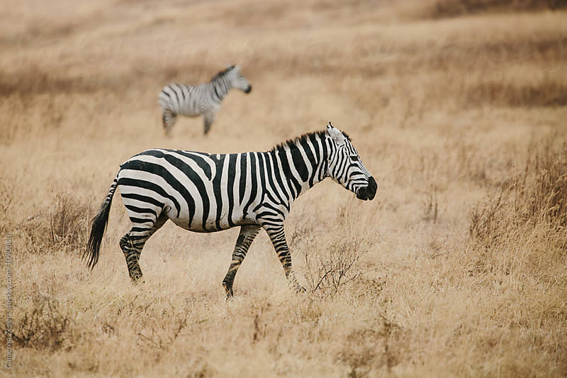 zebras in grassland by Cameron Zegers for Stocksy United