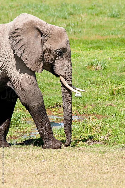 Elephant in an area of green grass, Kenya by Marta Muñoz-Calero Calderon for Stocksy United