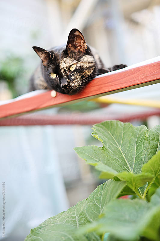 Calico Cat in Summer Garden by Briana Morrison for Stocksy United
