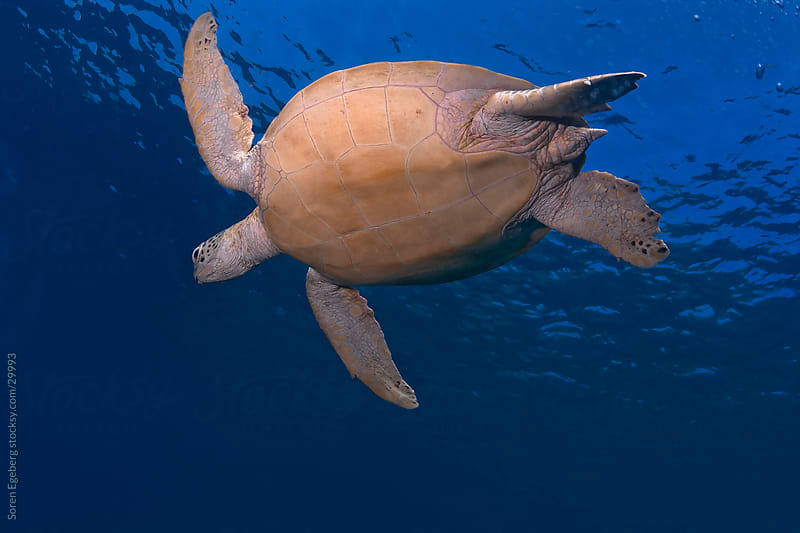 Sea turtle swimming om blue water background by Soren Egeberg for Stocksy United