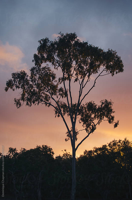 Gumtree at dusk by Dominique Chapman for Stocksy United