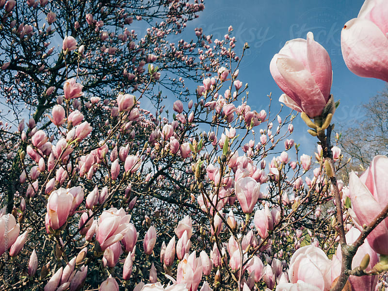 Closeup of a Magnolia Tree in Bloom by Geoffrey Hammond for Stocksy United