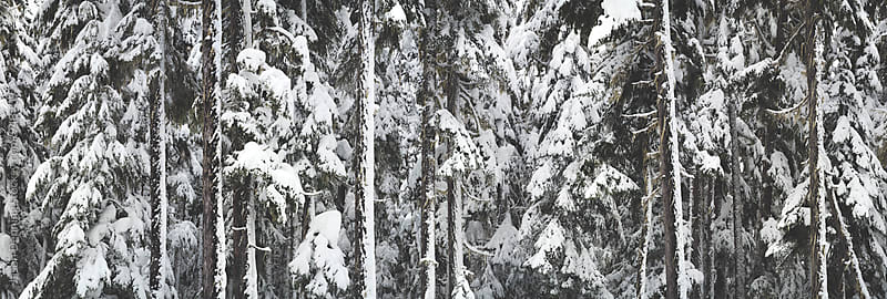 Snowy Trees by Jason Denning for Stocksy United