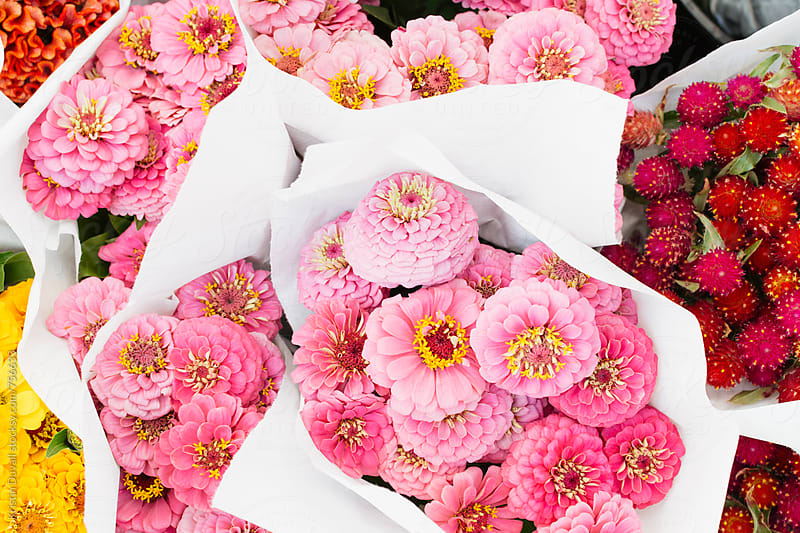 Bouquets of pink zinna flowers by Kristin Duvall for Stocksy United