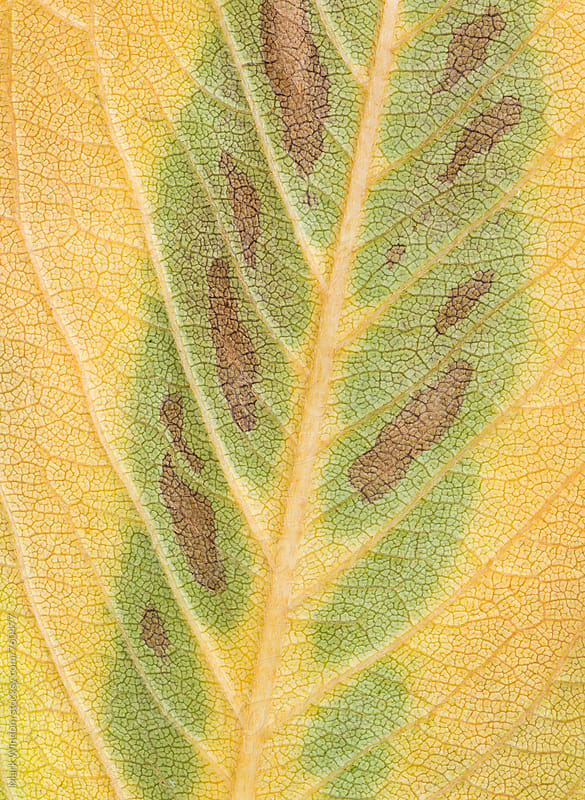 Cherry tree leaf in Autumn, closeup by Mark Windom for Stocksy United