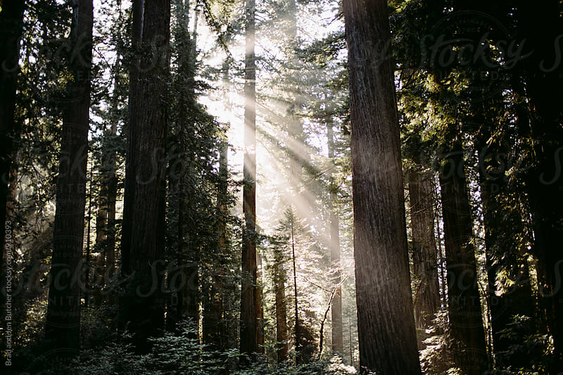 Rays of Sun in Redwoods by Brad and Jen Butcher for Stocksy United