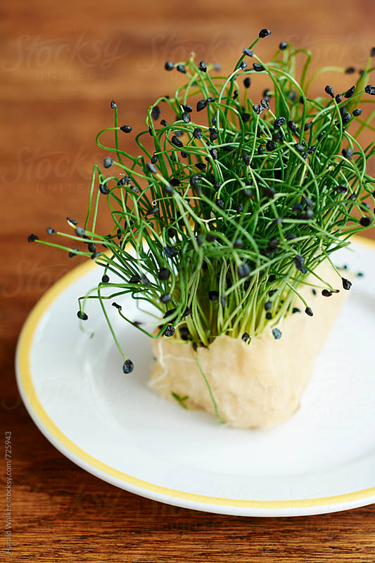 Garlic chives cress by Harald Walker for Stocksy United