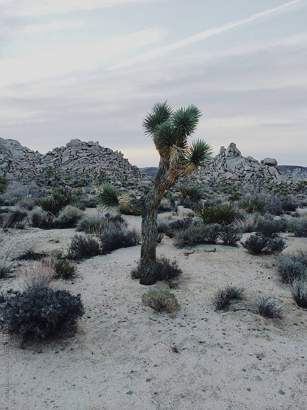 Joshua Tree by Kevin Russ for Stocksy United