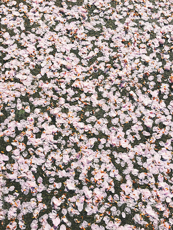 Pink cherry blossom pedals on sidewalk, close up by Paul Edmondson for Stocksy United