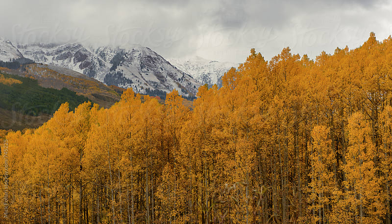 Early snows with autumn aspens by Mick Follari for Stocksy United
