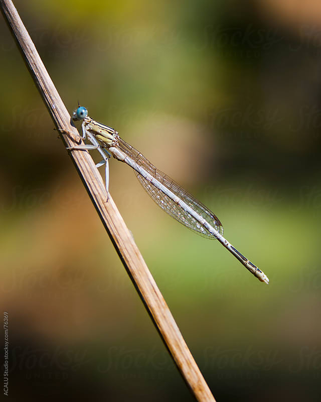 Damselfly perched on a branch in the sun by ACALU Studio for Stocksy United