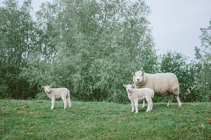 Mother sheep with two lambs by GIC for Stocksy United