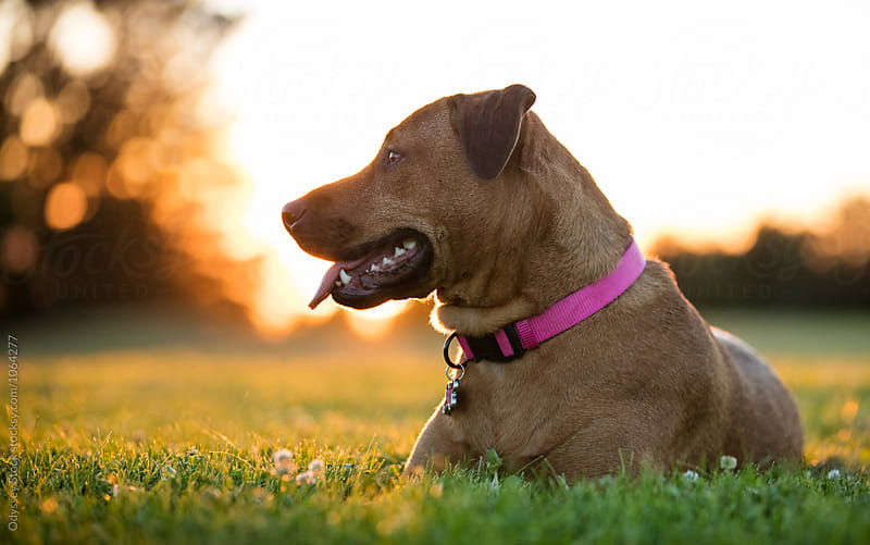 Dog Resting on Grass at Sunset by Odyssey Stock for Stocksy United