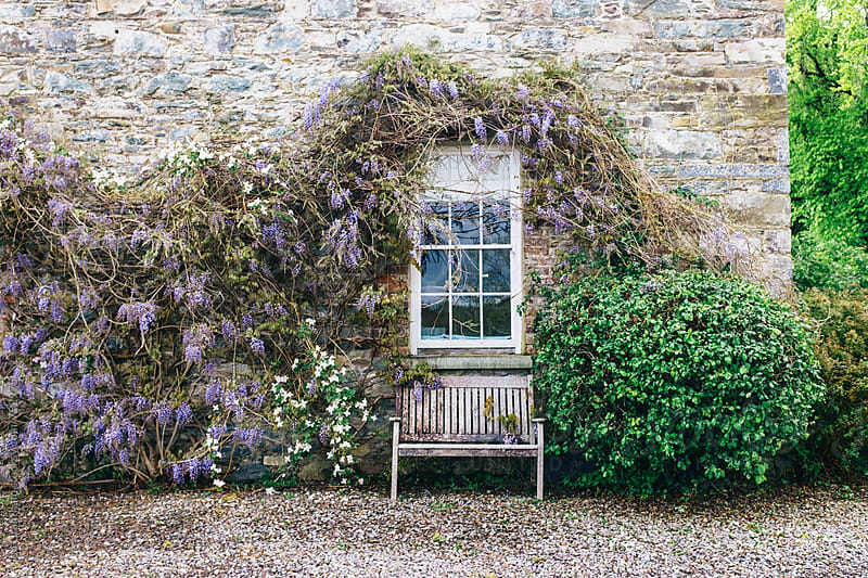 Wisteria growing around a window by Jen Grantham for Stocksy United