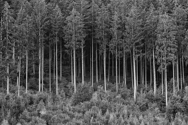 Trees in a Forest by Tom Uhlenberg for Stocksy United