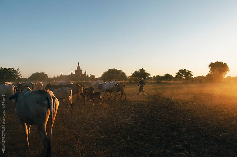 Burmese Farmer Driving Cattle Herd in Front of Bagan Pagodas at Sunset by VISUALSPECTRUM for Stocksy United