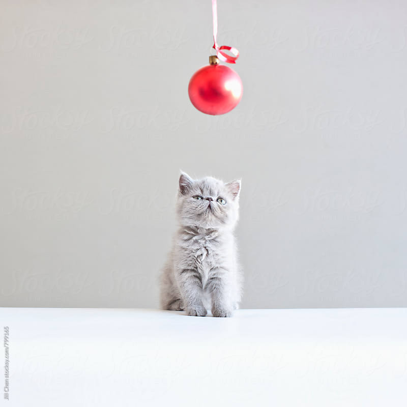 Gray Kitten and Red Christmas Ball by Jill Chen for Stocksy United