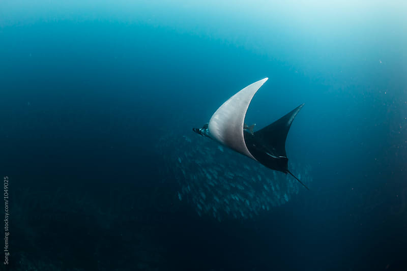 A  Manta Ray swimming with a school of jack fishes in the blue water of the ocean by Song Heming for Stocksy United