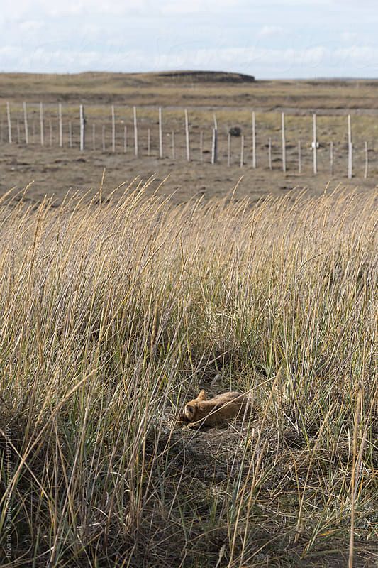 Culpeo fox cub sleeping in high grass in Tierra Del Fuego by Jovana Milanko for Stocksy United