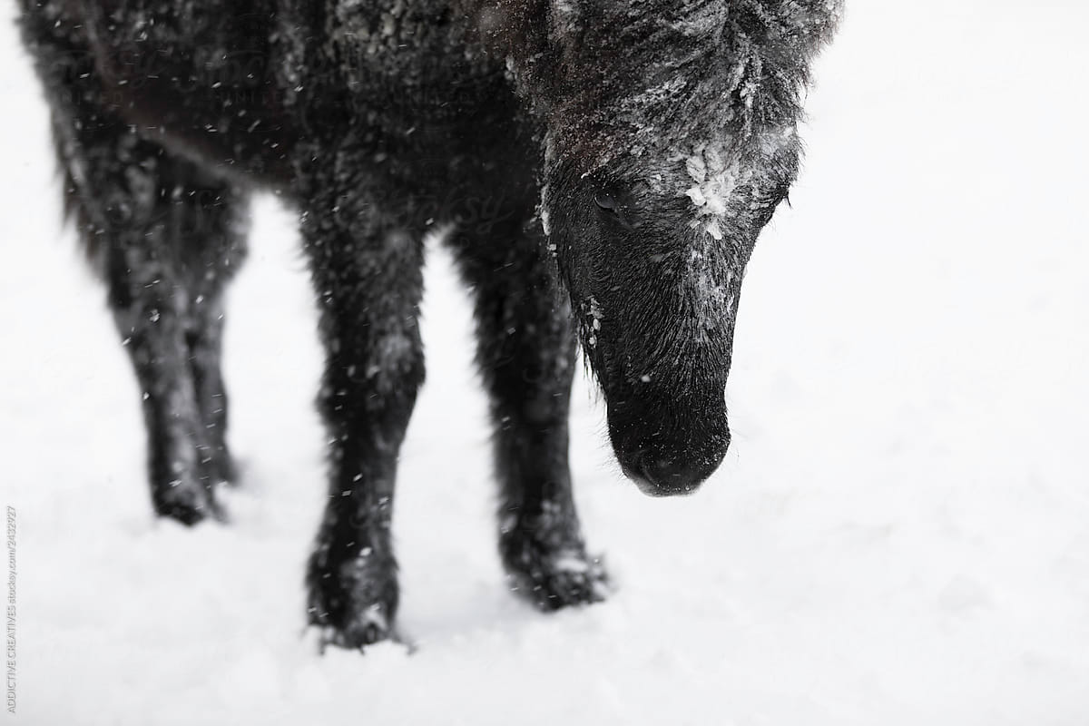 Black Horse In Winter Countryside By Addictive Creatives Stocksy United