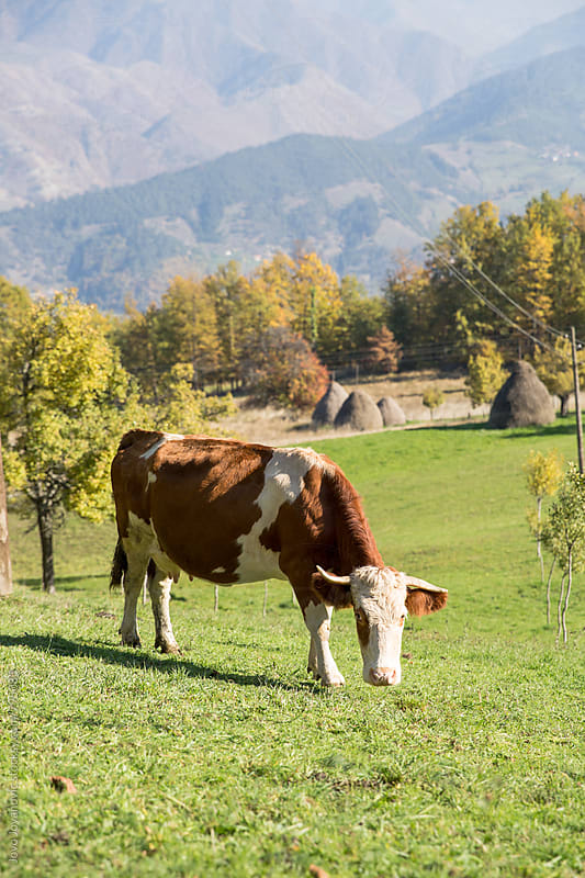A dairy cow eating in its pasture by Jovo Jovanovic for Stocksy United