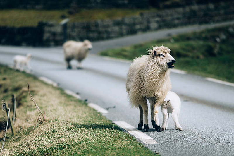 Sheep walking on the roads of rural Faroe Islands by Soren Egeberg for Stocksy United