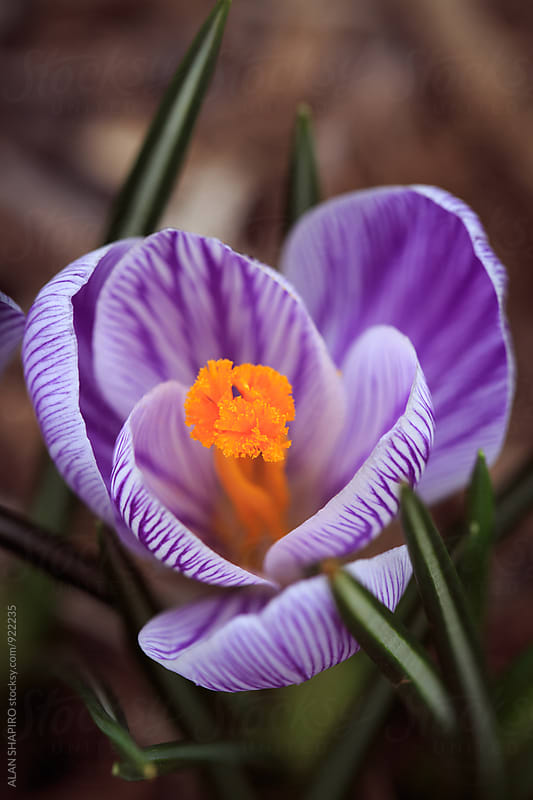 crocus by ALAN SHAPIRO for Stocksy United