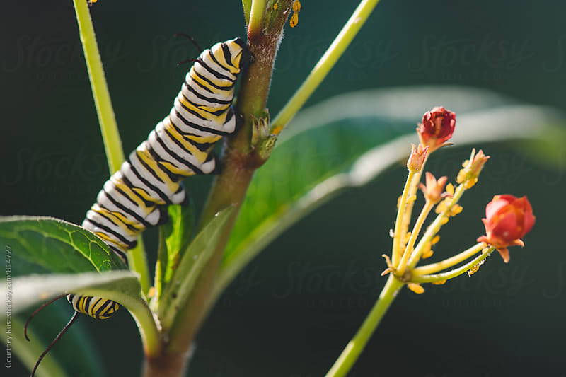 Monarch Caterpillar in the sun by Courtney Rust for Stocksy United
