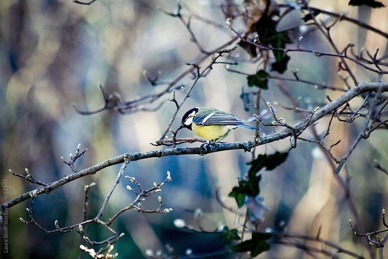 Great Tit (Parus major) on a leafless Magnolia stellata branch in wintry garden by Laura Stolfi for Stocksy United