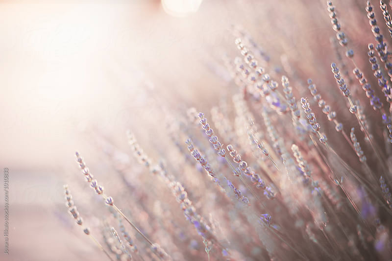Lavender in sunset by Jovana Rikalo for Stocksy United
