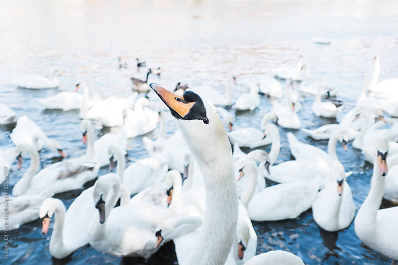 Swan Life by Justine Di Fede for Stocksy United