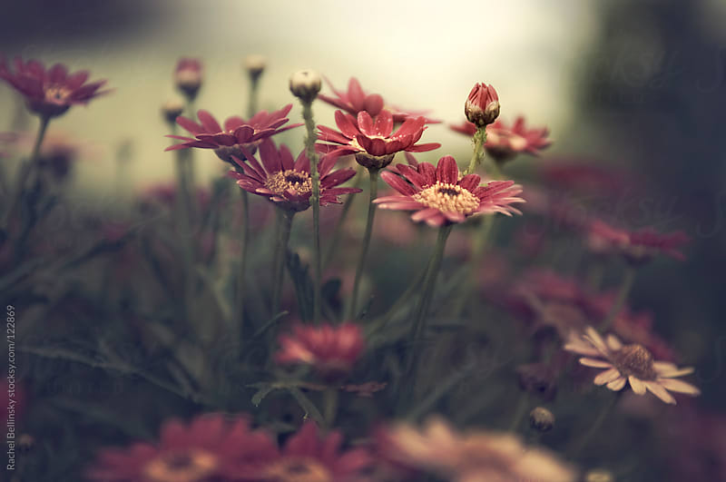 Red flowers grow upward into pale afternoon light by Rachel Bellinsky for Stocksy United
