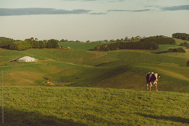 Lone Cow on Rolling Green Pasture by Gary Radler Photography for Stocksy United