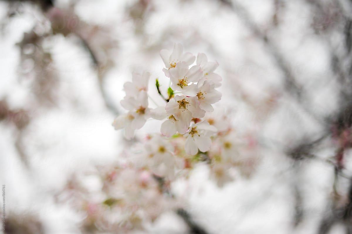 White Flowering Tree In Early Spring Stocksy United