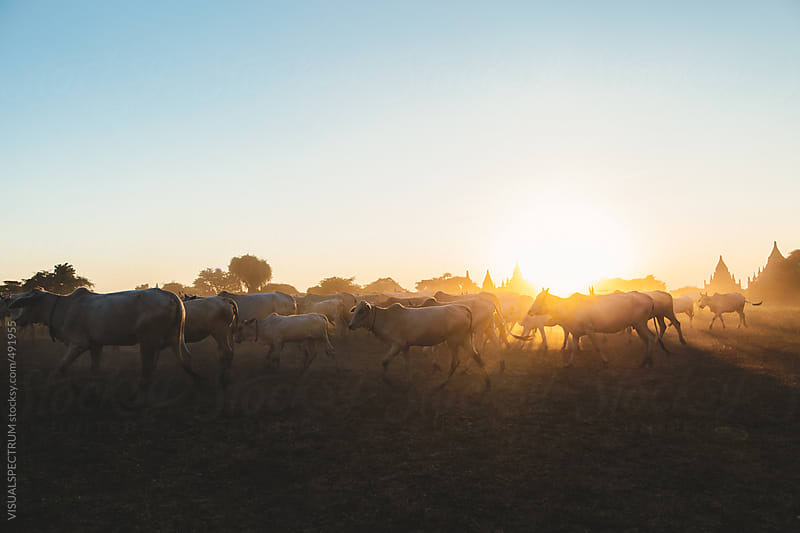 Cattle Herd Walking in Front of Bagan Pagodas, Myanmar by VISUALSPECTRUM for Stocksy United
