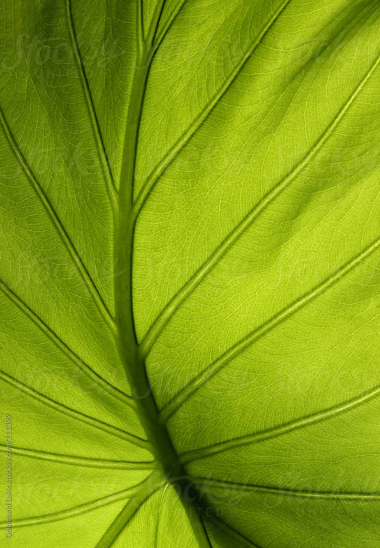Green Leaf of Elephant Ear Plant in Close-Up by Goldmund Lukic for Stocksy United